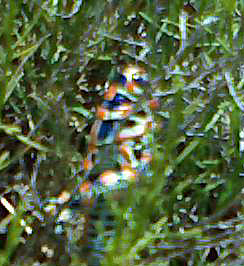 Painted Grasshopper:  Impressionist Rendition