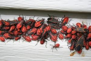 Boxelder Bug Aggregation