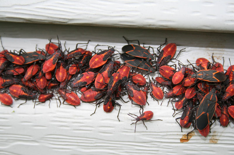 Boxelder Bugs - What's That Bug?