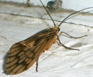 Caddisfly:  Hydatophylax argus