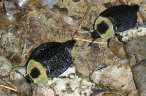 American Carrion Beetles