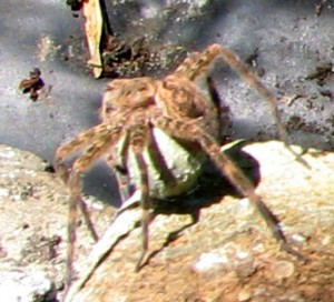 Female Fishing Spider with Egg Sac