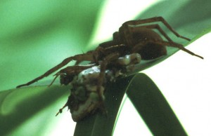 Six Spotted Fishing Spider eats Tree Frog