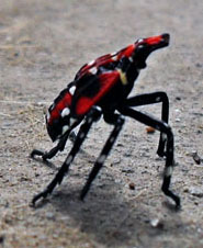 Unknown Hemipteran from China