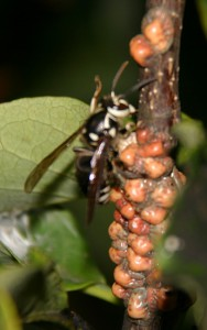 Bald Faced Hornet and Magnolia Scale