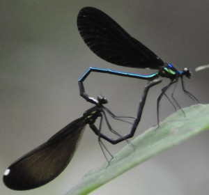 Ebony Jewelwings Mating