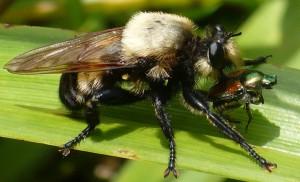Bee-Like Robber Fly eats Japanese Beetle