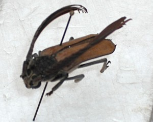 Unidentified Longicorn from Brazil