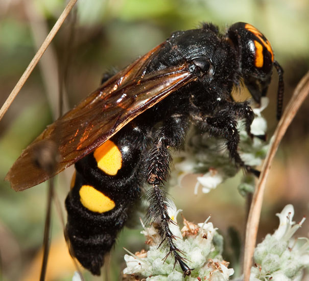 mammoth wasp from italy what s that bug