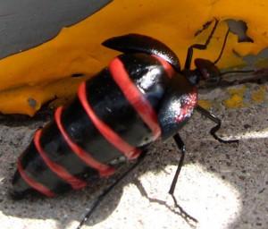 Blister Beetle:  genus Megetra