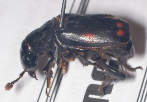 Pustulated Carrion Beetle:  skewered