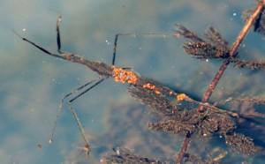 Water Scorpion with Phoretic Mites