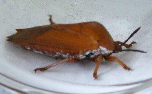 Unknown Stink Bug