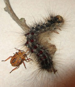 Predatory Stink Bug eats invasive Gypsy Moth Caterpillar