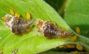 Syrphid Fly Larvae eat Oleander Aphids
