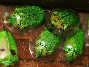 Unknown Tortoise Beetle from Nicaragua