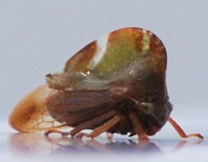 Unknown Treehopper