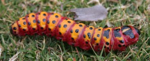 Unknown Caterpillar from South Africa