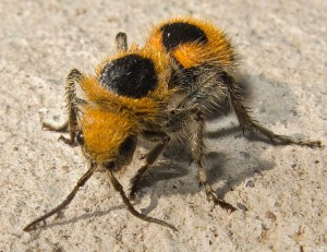 Velvet Ant from Jalisco