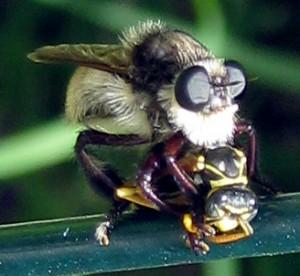 Bee Killer eats Golden Paper Wasp