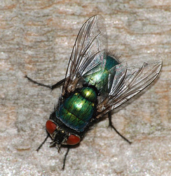 Common Green Bottle Fly