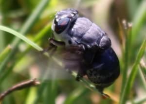 Bot Fly Ovipositing