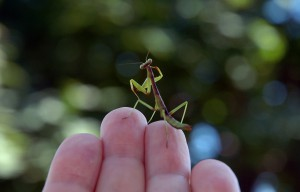 Immature Carolina Mantis