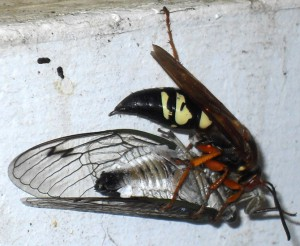 Cicada Killer and Annual Cicada