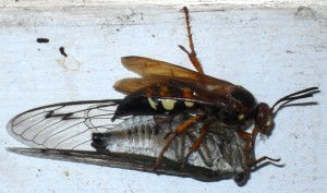 Cicada Killer and Annual Cicada Prey
