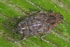 Unknown Cixiid Planthopper