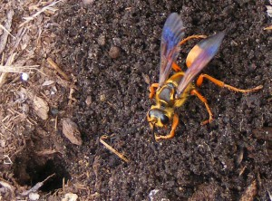 Great Golden Digger Wasp with Nest