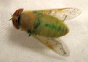Horse Fly:  Chlorotabanus crepuscularis