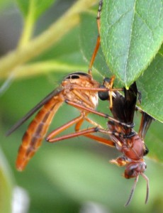 Hanging Thief eats Red Wasp
