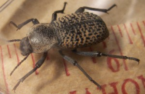 Ironclad Beetle