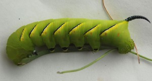 Laurel Sphinx Caterpillar