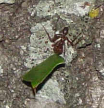 Texas Leaf Cutter Ant