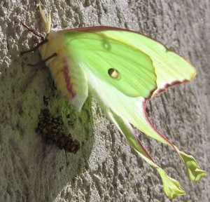 Luna Moth laying Eggs