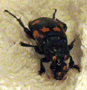 Sexton Beetle with Phoretic Mites