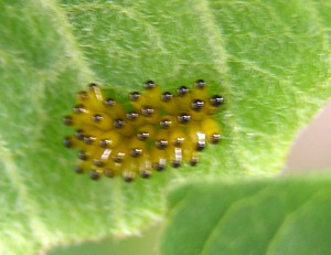 Three Lined Potato Beetle Eggs