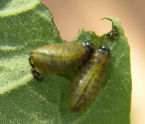 Striped Cucumber Beetle Larvae