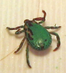 Tick:  Marked with Green Paint???