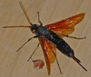 Wood Wasp:  Urocerus californicus