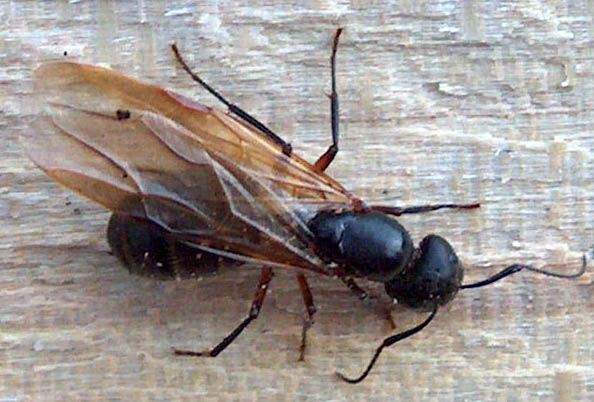 We agree that this is a Winged Carpenter Ant, probably the Black Carpenter ...