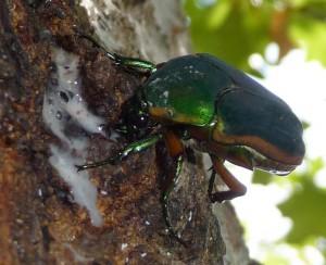 Figeater? or Green June Beetle???