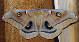 Oculea Moth