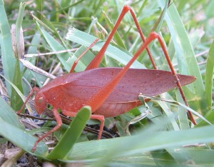 Round Headed Katydid:  Pink Form