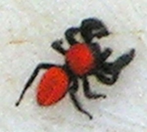 Red Jumping Spider