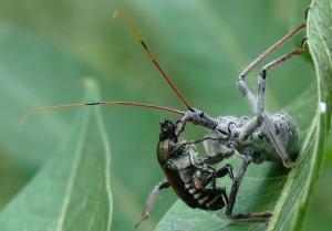 Wheel Bug eats Japanese Beetle