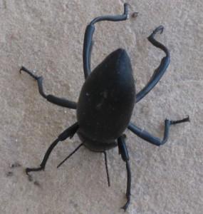 Acrobat Beetle
