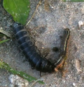 Caterpillar Hunter Larva eats Cutworm